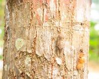Cicada changing its skin Stock Photos