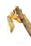 Cicada changing its skin Royalty Free Stock Image