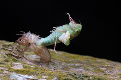 Cicada changing skin. Royalty Free Stock Photo