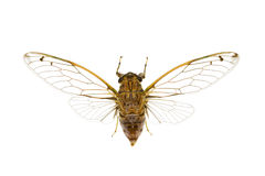 Cicada, cicadidae Stock Photos