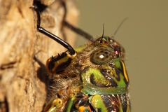 Cicada Close Portrait. A macro portrait of colors and details around the face of a New Zealand Cicada Royalty Free Stock Photos