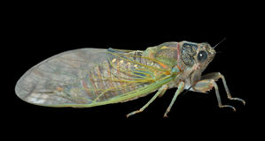Cicada 8. A close up of the cicada. Isolated on black Stock Photo