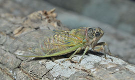 Cicada 2 Stock Photos