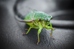 Cicada. Close up view of a cicada Royalty Free Stock Photography
