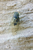 Cicada. The close-upof a cicada on rocks. Scientific name: Graptopsaltria nigrofuscata Royalty Free Stock Photos