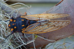 Cicada closeup Royalty Free Stock Photos