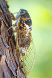 Cicada closeup Royalty Free Stock Images