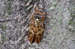 Cicada. Colorful cicada on a tree Stock Photography