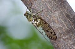 Cicada. Colorful cicada on a tree Royalty Free Stock Photo