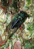 Cicada. A cicada on a Connecticut tree Stock Image