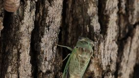 Cicada crawling on a tree stock footage
