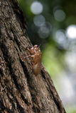 Cicada crust. Cicada crust hanging on tree Stock Image