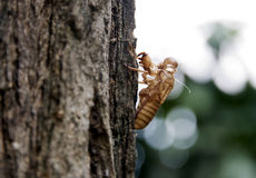 Cicada crust. Cicada crust haning on tree stock images