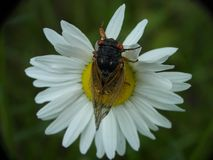 Cicada on Daisy flower. Bug wings royalty free stock images