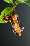 Cicada Eclosion 2 Stock Photo