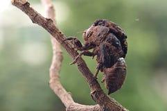 Cicada eclosion Στοκ φωτογραφία με δικαίωμα ελεύθερης χρήσης