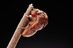 Cicada eclosion 02 Στοκ εικόνα με δικαίωμα ελεύθερης χρήσης