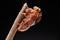 Cicada eclosion 03 Στοκ φωτογραφίες με δικαίωμα ελεύθερης χρήσης