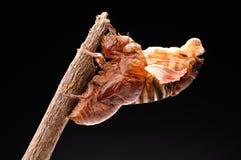 Cicada eclosion 05 Στοκ Φωτογραφία