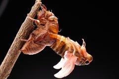 Cicada eclosion 06 Στοκ Φωτογραφίες