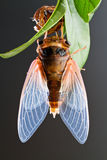 Cicada eclosion 5 Stock Photography