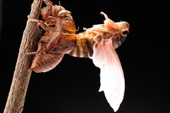 Cicada eclosion 07 Stock Photography