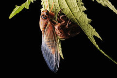 Cicada eclosion. A cicada nymphs has emerged a success Stock Image