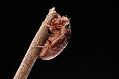 Cicada eclosion 01 Stock Image