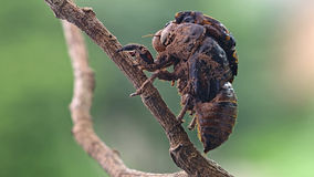 Cicada eclosion Royalty Free Stock Images