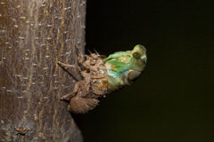 Cicada emerging. A dog-day cicada emerging from its nymphal skin, transforming from pupa to adult Royalty Free Stock Images