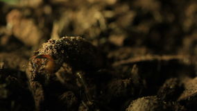 Cicada emerging from ground. This footage shows a cicada nymph digging it's way to the surface and emerging from the ground. In the nymph stage most cicadas stock footage