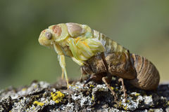 Cicada emerging from its exuvia Royalty Free Stock Image