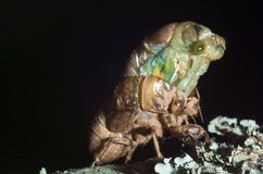 Cicada emerging from shell Royalty Free Stock Images