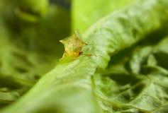 Cicada EN πρόσωπο στο φύλλο μαρουλιού Στοκ φωτογραφίες με δικαίωμα ελεύθερης χρήσης