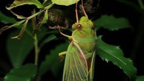 Cicada Enclosing - Cicadinae australasiae 16 stock footage