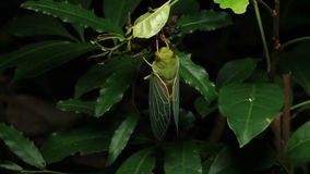 Cicada Enclosing - Cicadinae australasiae 13. Cicada Enclosing stock footage - Cicadinae australasiae stock video