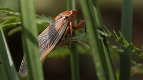 Cicada Enclosing - Cicadinae australasiae 13 stock footage