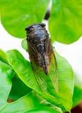 Cicada Stock Photos