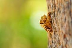 Cicada exoskeleton Stock Image