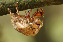Cicada Exoskeleton. Clinging to a Tree Branch - Grand Bend, Ontario Royalty Free Stock Image