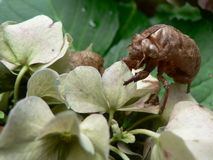 Cicada exoskeleton on Hydrangea. Cicada exoskeleton shell remains attached to the flowers of a hydrangea plant Stock Photo