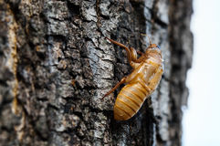 Cicada Exoskeleton Royalty Free Stock Photo
