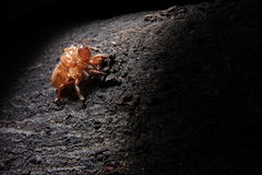 cicada exoskeleton pomponia imperatoria στοκ φωτογραφίες με δικαίωμα ελεύθερης χρήσης