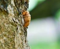 Cicada Exoskeleton Skin Nicaragua Royalty Free Stock Image