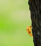 Cicada exoskeleton Stock Photography