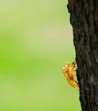 Cicada exoskeleton Stock Photography