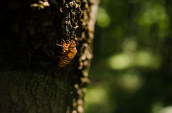 Cicada exuvia after moult  Stock Images
