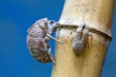 Cicada exuviae Stock Image