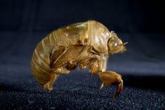 Cicada Exuviae 2 Stock Photography