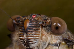Cicada face shot Stock Photos